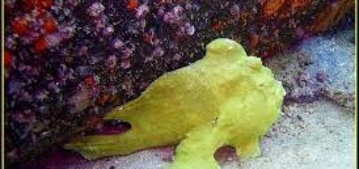 2016.vakantie.curacao.frogfish