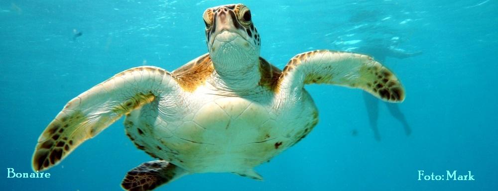 Schildpad Bonaire